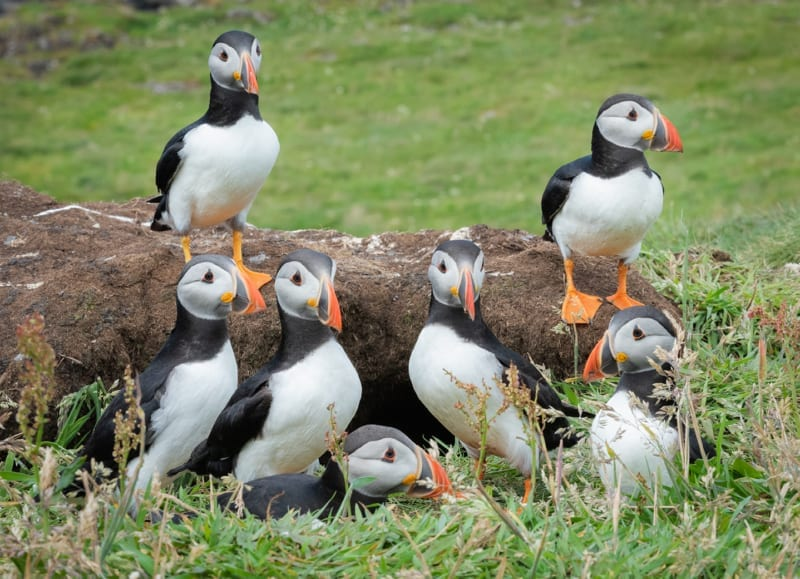Puffins of Lunger Digital Image
